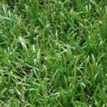 Декоративная трава 370 IMPERIAL